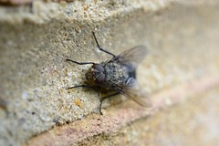 Flyday Friday (suekelly52) Tags: clusterfly diptera fly