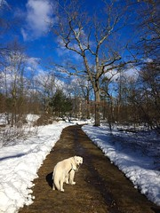 Follow Me! (RobertCross1 (off and on)) Tags: winter bailey golden goldenretriever englishcreamgoldenretriever dog pet mansbestfriend boston massachusetts ma franklinpark park woods forest trees iphone iphone6 iphoneography hiking path trail newengland bluesky clouds