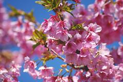 Kawazu Sakura #6 (bluehazyjunem) Tags: kawazusakura sakura flower blossom cherry tree plant sky
