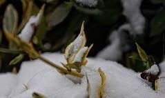 Sticking out of snow (dksesh) Tags: seshadri dhanakoti harita panasonic dmcg6 g6 sesh seshfamily haritasya vilambisamvatsara panasonicdmcg6 panasonicg6 snow