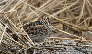 Jack Snipe -Slimbridge 20/03/2018