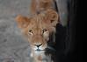 Lion_03 (gro57074@bigpond.net.au) Tags: newlionenclosure zoo westernplainszoo tarongazoo lion dubbozoo dubbo