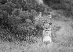 Alert (Sheldrickfalls) Tags: lion lioness lionesswalking lionesscloseup sabisands krugernationalpark kruger krugerpark nottensbushcamp mpumalanga southafrica