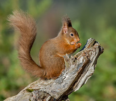 JWL8748  Red Squirrel.. (jefflack Wildlife&Nature) Tags: squirrel redsquirrel animal animals wildlife woodlands highlands scotland forest pineforest pines moorland heathland trees nuts nature