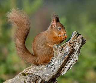 JWL8748  Red Squirrel..