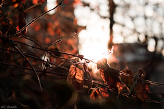 Red Rays (WT_fan06) Tags: nature outdoors red light saturated contrast aperture nikon d3400 dslr city urban bucharest bucuresti romania leaves suburban photography art artsy aesthetic orange ruby sun holiday street sky bokeh blur shine shinny flare beautiful blurry background