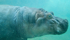 The Hippo Tank: Swimming (earthdog) Tags: 2010 animal hippo hippopotamus zoo sandiego sandiegozoo travel summervacation2010 vacation nikond50 nikon d50 1855mmf3556 liveanimal