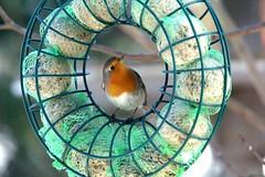 Framed cutie (Jaedde & Sis) Tags: framed robin rødhals rødkælk round feeder friendlychallenges challengefactorywinner thechallengefactory sweep pregamewinner challengegamewinner matchpointwinner t634 gamewinner