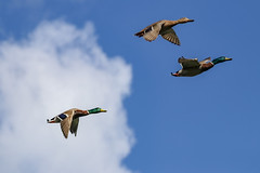 Threes a crowd (Paul Wrights Reserved) Tags: duck ducks duckinflight bird birding birds birdphotography birdwatching birdinflight sky cloud clouds