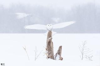 ''Bonne tempête !'' Harfang des neiges-Snowy owl
