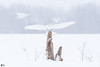 ''Bonne tempête !'' Harfang des neiges-Snowy owl (pascaleforest) Tags: hibou oiseau bird animal passion nikon nature winter hiver neige snow tempête wild wildlife faune white blanc québec canada arbre wood owl