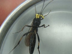 Ichneumon with pollenia (louise in northumberland) Tags: allendale northumberland hymenoptera pollenia ichneumon
