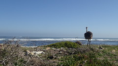 Ostrich by the sea (rjmiller1807) Tags: ostrich struissie 2017 august capepoint capeofgoodhope capepointnationalpark olympustough olympustg4 toughcamera olympus southafrica westerncape sea seaside wistful