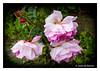 """C'est la rose"" (Joao de Barros) Tags: rose flower nature joão barros"