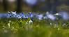 Scilla, Blauglanz (Froschkönig Photos) Tags: scilla blauglanz frühling spring blau blue old lens bokeh nex5r primoplan meyeroptikgörlitz