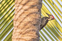 I see you (sr_ravi) Tags: woodpecker coconut tree palm leaf birds chennai adyar tamilnadu india nikond610 tamron150600mm dinopiumbenghalense male