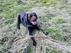 Happy Hudson with Stick (Pyrolytic Carbon) Tags: labrador chocolatelabrador hudson hudsonbrunton mobile field stick