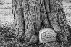 Life Finds a Way (Jim Frazier) Tags: jtpblog instagram 2018 20180127photodrive bluffcitycemetery elgin bark cemeteries cemetery cook granite graves gravestone graveyard growing growth headstones il illinois january jimfraziercom limestone marble markers memorials monuments nature slab tomb tombstones trees winter q3 lifefindsaway naturefindsaway