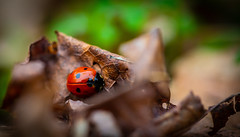 Ladybug .. 🐞 (Julie Greg) Tags: ladybug colours leaves nature park details macro