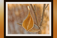 Empty (garywitte845) Tags: milkweed pod texture frame winter browns ipiccy pixlr photoshopelements creative