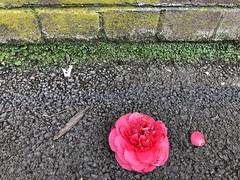 on the pavement (Hayashina) Tags: london green pavement fallen flower red