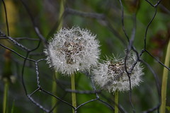 DSC_1087 (griecocathy) Tags: grillage fleurs tiges pissenlit herbe rosée lumière blanc vert gris gouttelette eau