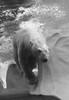 Diving Bear (peterkelly) Tags: bw digital canon 6d detroitzoo detroit michigan usa us unitedstates unitedstatesofamerica northamerica polarbear swimming diving water captive bubbles