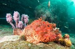 Boss of the rock - Red scorpionfish - Scorpaena jacksoniensis #marineexplorer (Marine Explorer) Tags: scuba nature marine underwater australia marineexplorer