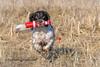 Wild thing (Flemming Andersen) Tags: zigzag spaniel pet nature dog hund outdoor cocker game fetch animal hurupthy northdenmarkregion denmark dk