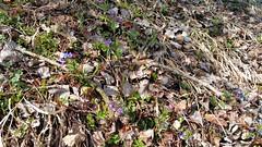 """Frühling – Spring – Ressort (warata) Tags: 2018 deutschland germany süddeutschland southerngermany schwaben swabia oberschwaben""""upperswabia schwäbischesoberland """"badenwürttemberg"""" badenwürttemberg pflanze blätter """"samsung galaxy note 4"""" frühling spring wildpflanzen wildblumen"""