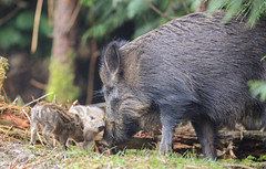 Wild Boar Humbug Sus scrofa 064-1 (cwoodend..........Thanks) Tags: forest forestofdean gloucestershire gloucestershirewildlife wildlife wildboar susscrofa boar sow humbug piglet