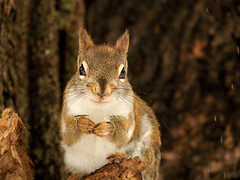 Pee Wee (LupaImages) Tags: peewee squirrel baby young runt cute face fur furry animal wild nature sweet closeup tree outdoors outside love