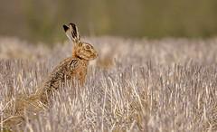 Brown Hare (Tony Smith Photo's) Tags: brown eye farm field mammal natural nature spring uk wild wildlife alertness animal background brownhare bunny cute ear ears europaeus european europeanbrownhare europeanhare eyes farmland fauna fur hare jackrabbit lepus lepuseuropaeus one outdoor rabbit rural sitting