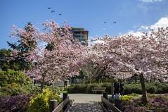 The Colours Of Minoru (Clayton Perry Photoworks) Tags: vancouver bc canada richmond spring minorupark cherryblossoms pink birds skyline explorebc explorecanada sakura