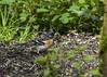 Pinson du nord, mâle quasi nuptial (JFB31) Tags: pinsondunord fringillamontifringilla brambling passériformes fringillidés