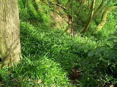 Few -flowered Garlic  Allium oleraceum (ERIK THE CAT Struggling to keep up) Tags: landscape wildflowers butterhill pond staffordshire alliumoleraceum