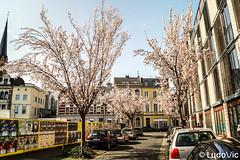 Spring is coming - 04 (Lцdо\/іс) Tags: cherry blossom avenue cerisier japonais japanese tree spring avril april 2018 bonn germany japan deutschland deutsch street heerstrasse strasse lцdоіс