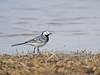 White Wagtail (Corine Bliek) Tags: motacillaalba bird birds vogel vogels natuur nature wildlife birding wagtails meer water spring voorjaar lake