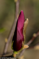 """""""Soon to be opened"""" (Fred / Canon 70D) Tags: magnolia garden closeup canon canon70d canoneos eefde plant ef100mmf28lmacroisusm flowers"""