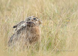 Hare, peek a boo