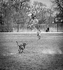 Show off (piano62) Tags: dogs ego jock athletic jump airborn frisbee missed inthepark hornerpark chicago sonya7rii sony85mmf18