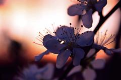 Spring Sunset (DrQ_Emilian) Tags: flower plant blossom tree floral garden nature sunset sunlight spring mood season light colors details closeup bokeh beautifull dawn dark photography hobby outdoors silhouette