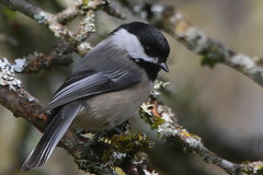 A momentary pause.... (Paridae) Tags: chickadee blackcappedchickadee familyparidae parusatricapillus birdsofbritishcolumbia birdsoflangley campbellvalleypark featheredfriends thingswithwings birdsofafeather afewofmyfavouritethings canoneos1dx