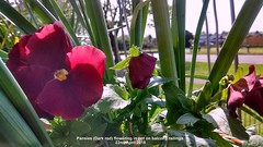 Pansies (Dark red) flowering in pot on balcony railings 22nd April 2018 (D@viD_2.011) Tags: pansies dark red flowering pot balcony railings 22nd april 2018