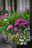 Charleston Window Boxes (crziebird) Tags: charleston sc southcarolina window boxes flowers spring