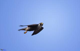 Peregrine Falcon (f).