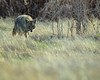 Coyote Stalking (droy0521) Tags: grass wildlife coyote mammal colorado outdoors prairie places animal