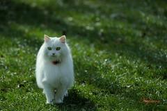 Cat in white Satin !!  /  Je ne pense qu'à Chat !   ^_^ (kylucru) Tags: cat chat gatto katze gato kot kedi 猫 बिल्ली חתול قط