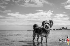 Luna am Strand von Schönberg (Norbert Kiel) Tags: deutschland schleswigholstein ostsee nokiart hund luna bw schwarzweis vierbeiner wasser himmel wolken strand tier meer sand