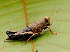 Grashüpfer (Eerika Schulz) Tags: grashüpfer grasshopper ecuador puyo eerika schulz